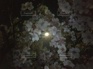 風景,空,公園,花,春,桜,夜,街角,木,綺麗,フラワー,散歩,幻想的,花見,夜桜,満開,見上げる,美しい,お花見,月,イベント,日本,満月,ファンタジー,flower,和,和風,japan,街中,月明かり,beautiful,フルムーン,flowers,上,月見,スカイ,ムーン,お月見,ビューティフル,ジャパン,見上げた,fantasy,花見酒,月見酒
