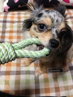 犬,動物,チワワ