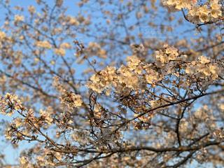 空,花,春,桜の花,さくら