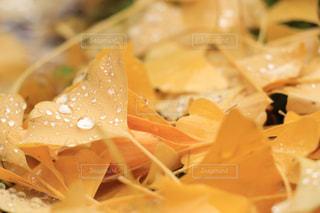 雨上がりの銀杏の写真・画像素材[2135029]