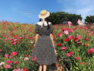 晴れた日のひなげし畑の写真・画像素材[2300923]