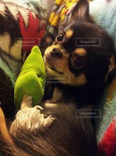 家族,犬,猫,動物,チワワ,屋内,かわいい,子犬,男の子,毛皮のような