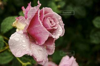 花,雨,屋外,ピンク,水滴,バラ,花びら,薔薇,雫