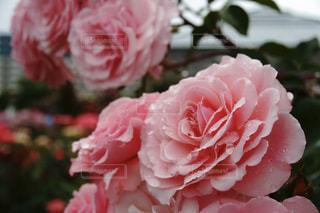花,雨,屋外,ピンク,水滴,バラ,花びら,薔薇,雫,草木