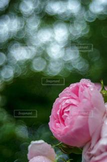 屋外,ピンク,水滴,バラ,花びら,薔薇,雫,玉ボケ,草木