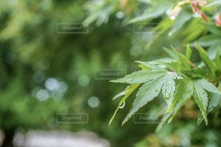 雨,屋外,水滴,葉,樹木,雫,玉ボケ,草木