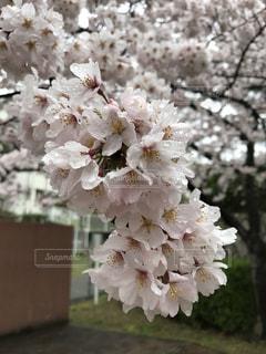 花,桜,雨,ピンク,水,水滴