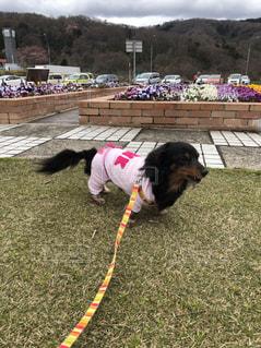 犬,春,思い出,お散歩,ダックスフンド