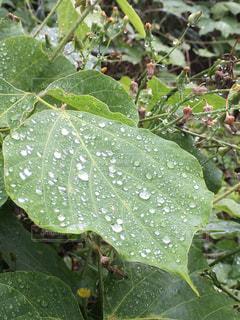 雨,緑,梅雨,雨粒,雨の日