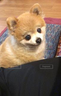 犬,ポメラニアン,ふわふわ,わんちゃん