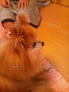 犬,可愛い,ミルクティー色