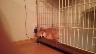 犬,寝顔,癒し,可愛い
