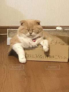 猫,笑える,ミルクティー色