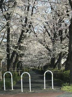 桜満開の遊歩道の写真・画像素材[1992183]