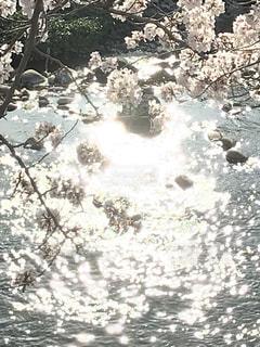 輝け桜の写真・画像素材[2018975]