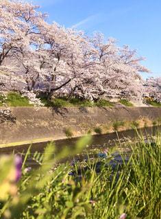 桜,緑,青空,川,満開,草,土手,ソメイヨシノ