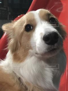 犬,笑顔,ボーダーコリー,ワンコ,ミルクティーカラー