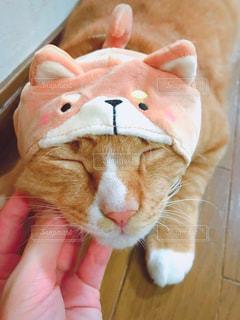 猫,動物,屋内,かわいい,茶色,被り物,ミルクティー色,まったり顔