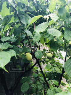 食べ物,木,雨,屋外,梅,外,雨天,梅雨,天気,収穫,雨の日,青梅