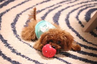 犬,いちご,可愛い,プードル,ティーカッププードル