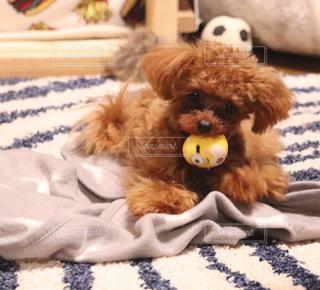 犬,可愛い,プードル,食べたい,ティーカッププードル,ミニオンガブガブ