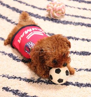 犬,サッカーボール,サッカー,可愛い,プードル,ティーカッププードル