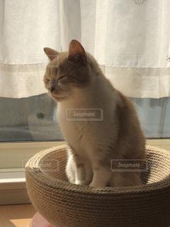 動物,愛猫,ミルクティー色,soy