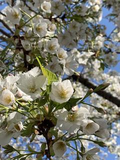 葉桜の写真・画像素材[1999189]