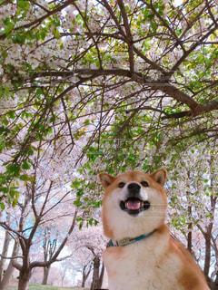 動物,屋外,茶色,樹木,ペット,お花見,柴犬,日本犬,ちゃちゃ丸