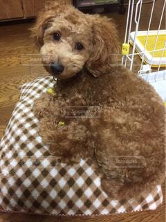 犬,動物,屋内,かわいい,茶色,ふわふわ,ペット,クッション,プードル,トイプードル,ミルクティー,モコモコ,ドッグ,ミルクティー色