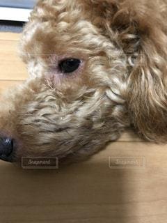 犬,動物,かわいい,茶色,ふわふわ,ペット,プードル,トイプードル,目,ミルクティー,モコモコ,ドッグ,ミルクティー色