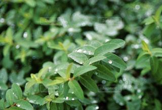 木,雨,緑,水滴,水玉,雫,しずく,雨粒,草木