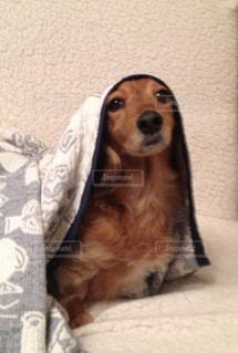 犬,可愛い,毛布,ダックス,ベット