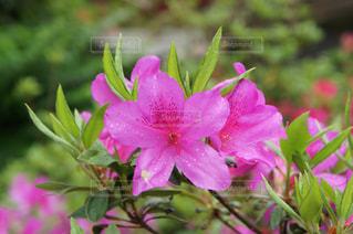 ツツジの花の写真・画像素材[2008746]