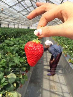 赤い果実を持っている手の写真・画像素材[2079430]