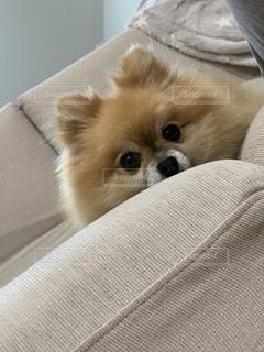 犬,ポメラニアン,茶色,可愛い,モフモフ,まんまる,ミルクティー,フワフワ