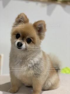 犬,ポメラニアン,茶色,部屋,家,可愛い,モフモフ,愛犬,まんまる,ミルクティー,ドック