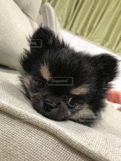 犬,チワワ,ポメラニアン,黒,茶色,部屋,家,赤ちゃん,可愛い,愛犬,ミックス,ミルクティー,クロ,ドック