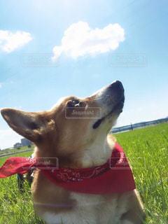 犬,空,コーギー,愛犬,わんちゃん,ワンちゃん
