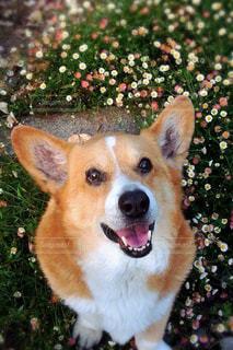 犬,動物,笑顔,可愛い,コーギー,わんちゃん,ワンちゃん