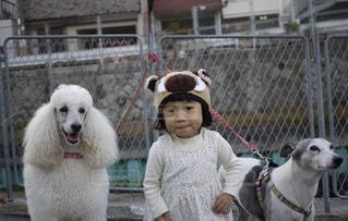 犬,女の子,プードル,ウィペット,スタンダードプードル,ワンちゃん