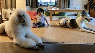 犬,室内,女の子,プードル,ウィペット,スタンダードプードル,ワンちゃん
