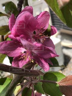 家で咲いた姫リンゴの花の写真・画像素材[2054226]