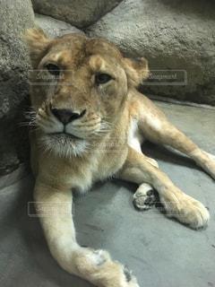 動物,大きい,動物園,メス,ライオン,迫力,肉食