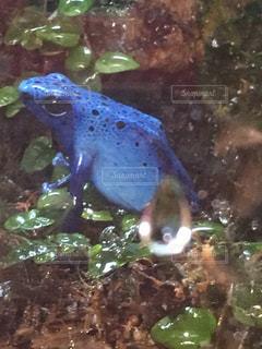 青いヤドクガエルの写真・画像素材[2108913]