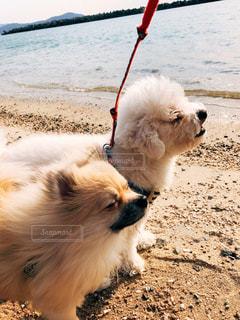 犬,海,ポメラニアン,砂浜,散歩,いぬ,トイプードル,夕陽,午後,ホワイト