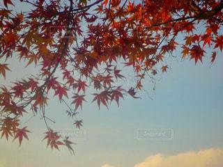 青空と紅葉の写真・画像素材[2513614]