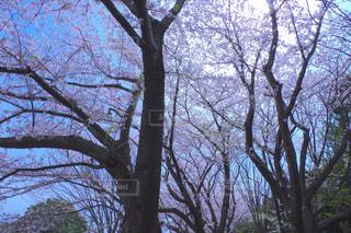 風景,空,公園,花,春,桜,木,屋外,ピンク,植物,晴れ,青空,枝,花見,景色,満開,樹木,お花見,イベント,日本,四季,日中,陽気