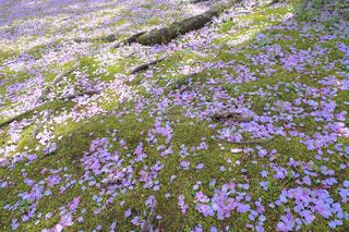 自然,風景,公園,花,春,桜,木,屋外,ピンク,緑,植物,花見,景色,花びら,満開,草,樹木,お花見,イベント,日本,地面,四季,根,草木,根っこ