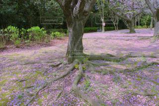 自然,公園,花,春,桜,木,屋外,ピンク,植物,花見,花びら,満開,草,樹木,お花見,新緑,イベント,日本,地面,四季,根,草木,ガーデン,根っこ